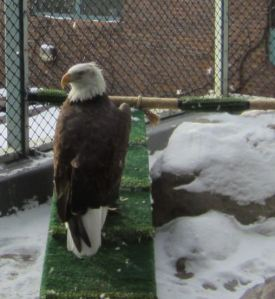 Luec from The Raptor Center