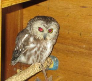 Owl from The Raptor Center